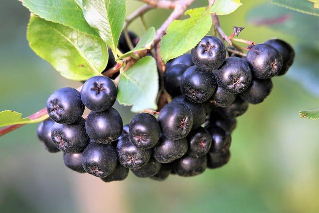 Owoce aronii na sok z wyciskarki